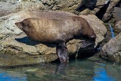 Seal sleeping on the rock at Kaikoura, New Zealand Royalty Free Stock Photos