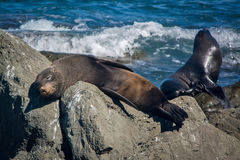 Seal sleeping on the rock at Kaikoura, New Zealand Royalty Free Stock Photo