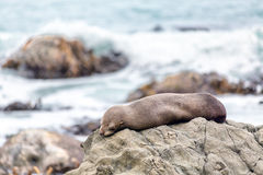 Seal sleeping on the rocks of Kaikoura in New Zealand Stock Photography