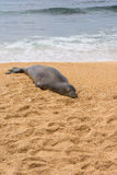 The seal sleeping on the sand, Hawaii Royalty Free Stock Images