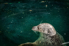 A seal Royalty Free Stock Photo