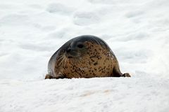 Seal in Snow Royalty Free Stock Images