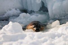 Seal in the snow stock photos