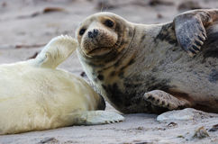 Seal and son Royalty Free Stock Photo