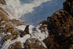 Seal standing on rocks Royalty Free Stock Photography