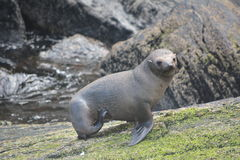 Seal. Standing on the Rocks Royalty Free Stock Image