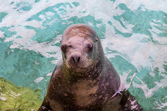 A seal is standing on the side of aquarium Stock Image
