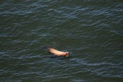 Seal swimming along the Oregon Coast stock photography