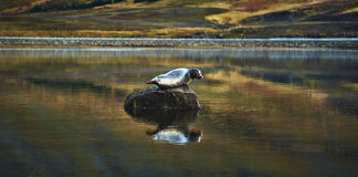 Seal on the stone in the lake Stock Photography