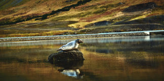 Seal on the stone in the lake Royalty Free Stock Photography