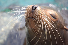 Seal in the sun. A seal in the sea waitung for the sun Stock Image