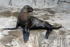 Seal Sun Bathing Royalty Free Stock Photo