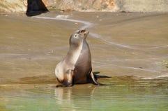 The seal in the sun Stock Photos