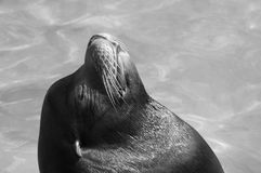 Seal in the sun Royalty Free Stock Photo