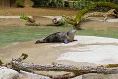 Seal sunbath in zoo in Augsburg in germany royalty free stock photos