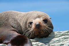 Seal sunbathing. Stock Photos