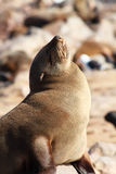 Seal sunbathing at the beach Royalty Free Stock Photography