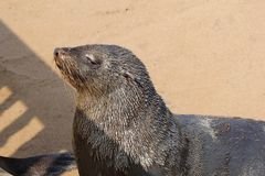 Seal sunbathing closeup, Cape Cross, Namibia Royalty Free Stock Images