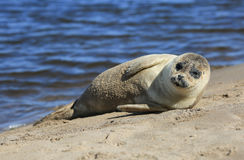 Seal sunbathing on The Holy Island of Lindisfarne Stock Image