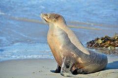 Seal Stock Photos