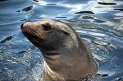 Seal swimming Royalty Free Stock Photography