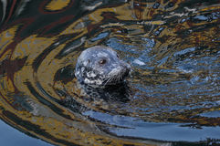 Seal swimming Royalty Free Stock Image