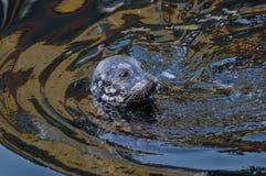 Seal swimming royalty free stock image