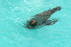 Seal Swimming 2. Seal swimming in pool stock images