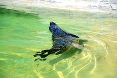 Seal swimming Royalty Free Stock Images