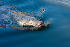 Seal swimming in blue water. Seal's head close-up in blue water Royalty Free Stock Image