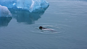 Seal swimming through frozen waters Royalty Free Stock Photography