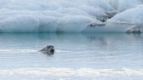Seal swimming in ice lagoon. Curious seal swimming in Jokulsarlon Ice Lagoon royalty free stock images