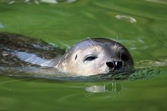 Seal swimming Stock Image