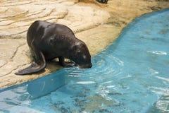 Seal swimming Stock Photos