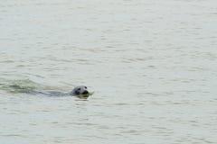 Seal swimming in sea Stock Photo
