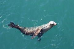 Seal. A swimming seal in sea water in Santa Cruz. California boardwalk pier Royalty Free Stock Image