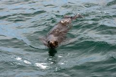 Seal swimming on the surface of the ocean royalty free stock image