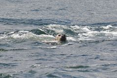 a seal is swimming on the surface royalty free stock image
