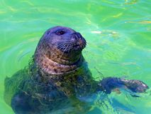 Seal of Texel. Seal swimming in th natural reseve of Texel island in Netherlands stock photo