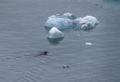 Seal swimming to an iceberg stock image