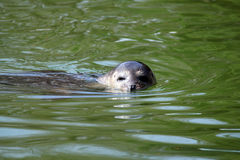 Seal swimming in water Stock Photo