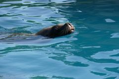 Seal swimming in zoo pool looking into camera stock photography