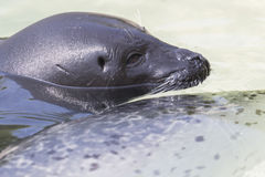 Seal royalty free stock photography
