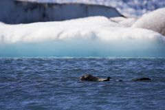 Seal Swims in Jokusarlon Glacial Lagoon, Iceland Royalty Free Stock Photography