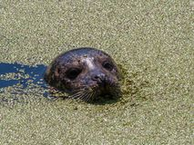 Seal swims in a river between the green duckweed stock images