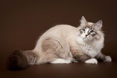 Seal tabby point with white siberi cat. On dark brown background Stock Image