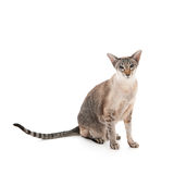 Seal tabby siamese cat Royalty Free Stock Photos