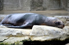 Seal taking a nap Stock Image