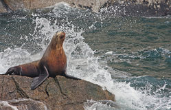 Seal taking a shower royalty free stock photos