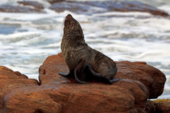 Seal. A Seal is taking a sun bath on a rock Royalty Free Stock Photo